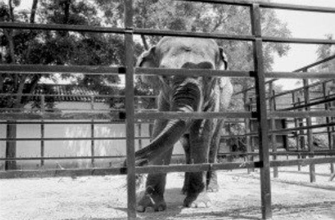 Con voi Flavia được đưa đến vườn thú Cordoba năm 1976 lúc ba tuổi.
