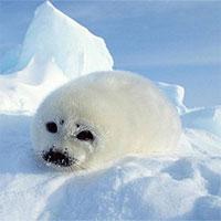 Hải cẩu và cá voi trắng ở Bắc Cực thay đổi tập tính săn mồi