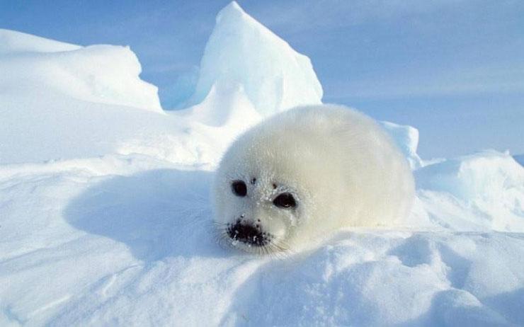 """Hiện tại, hải cẩu phải """"tiêu tốn"""" nhiều thời gian hơn để săn mồi tại các dòng sông băng"""