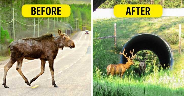 Wildlife crossing - ý tưởng thiên tài và hiệu quả cực cao