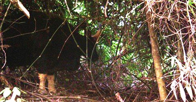 Hình ảnh một cá thể bò tót sinh sống ở Vườn quốc gia Phong Nha - Kẻ Bàng mà bẫy ảnh thu được