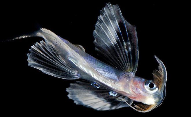 Cheilopogon: Đây là một loài thuộc họ cá chuồn. Chúng có đặc trưng là vây ở ngực rất lớn và cơ thể đầy màu sắc.