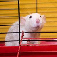 Lịch sử y học kỳ thú của chuột thí nghiệm