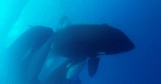 Sau nhiều năm, các nhà khoa học mới lại phát hiện ra cá voi sát thủ loại D.