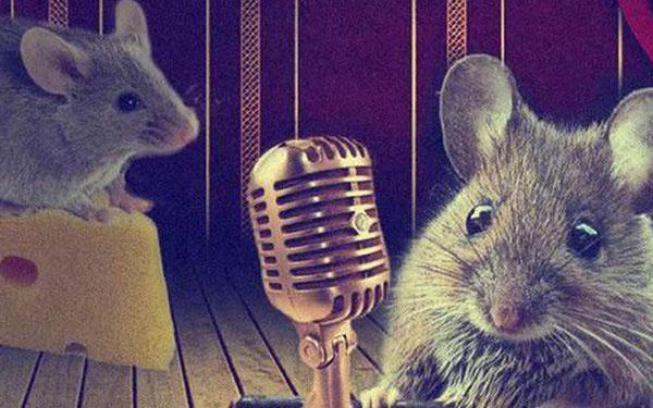 Khi chuột đực bắt gặp đối tượng bạn tình ưng ý, nó sẽ phát ra một loạt tiếng kêu chút chít phức tạp.