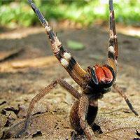 Loài nhện độc nhất thế giới giúp quý ông hết yếu sinh lý hơn cả Viagra