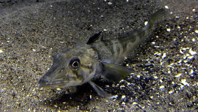 Suốt gần một thế kỷ, loài cá Chionodraco rastrospinosus thu hút đam mê nghiên cứu của nhiều người