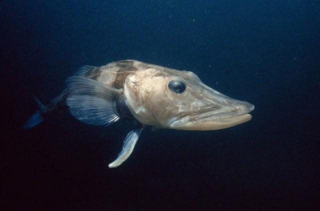 Loài cá có máu trong suốt kỳ lạ tập trung 90% ở Nam Cực