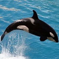 Bí mật của cá voi sát thủ cái