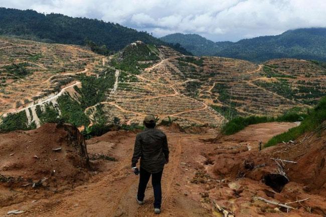 Đồn điền sầu riêng trên diện tích rừng trước đây ở Malaysia