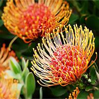"""""""Vương quốc Hoa"""" phải bị cháy rừng thì mới sống được của Nam Phi: Giàu thực vật gấp 3 lần Amazon"""