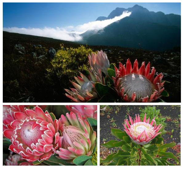 Hầu hết các loài thực vật ở Cape Floral Kingdom đều phải được cháy cứ 10-20 năm một lần.