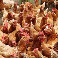 Cáo bị mổ chết khi lẻn vào chuồng gà 3.000 con