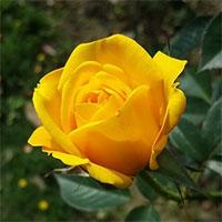 Ý nghĩa hoa hồng vàng là gì? Truyền thuyết hoa hồng vàng