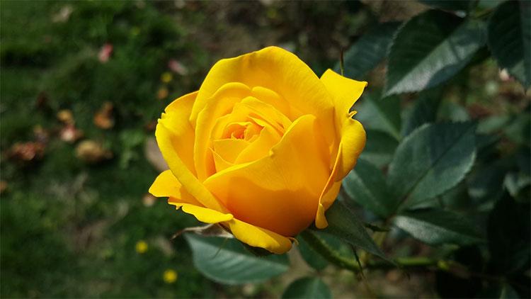Hoa hồng vàng mang trong mình câu chuyện bi thương của nàng Elisa xinh đẹp.