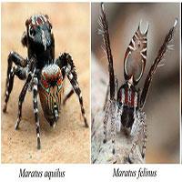 """Kinh ngạc về 3 loài nhện """"tí hon"""" mới phát hiện ở Úc"""