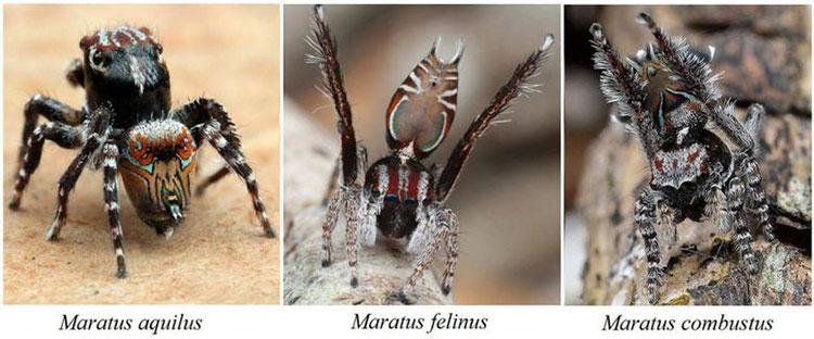 Ba cá thể nhện mới phát hiện ở Úc.