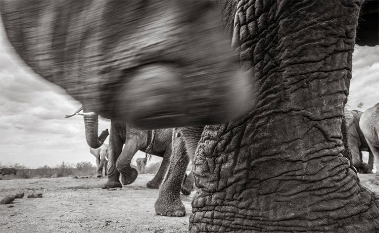 Những con voi ngà siêu dài ngày nay rất hiếm