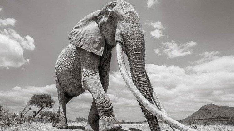 Những con vật như F_MU1 không thể tránh khỏi việc bị chú ý bởi những kẻ săn ngà voi