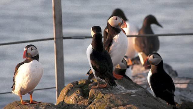 Loài chim hải âu cổ rụt (puffin) từng bị đe dọa rất nhiều, số lượng giảm đến mức lọt vào sách Đỏ.