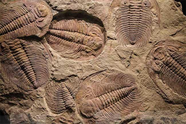 Vụ nổ Cambrian chỉ là một trong hàng loạt các sự kiện dẫn đến sự đa dạng của hệ động vật.