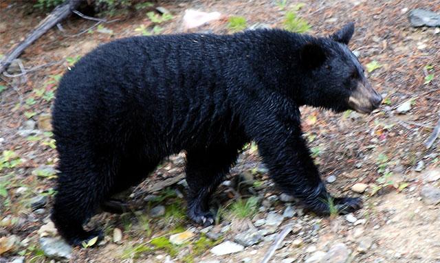 Gấu đen Bắc Mỹ