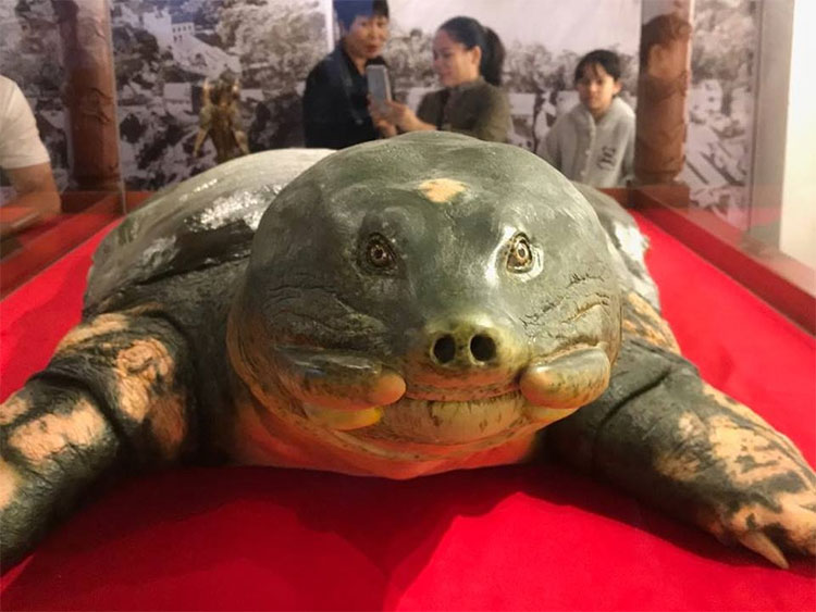 Rùa mai mềm