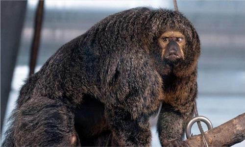 Con khỉ cái thuộc loài khỉ saki mặt trắng ở vườn thú Korkeasaari