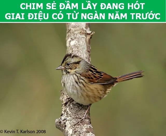 Chim sẻ đầm lầy