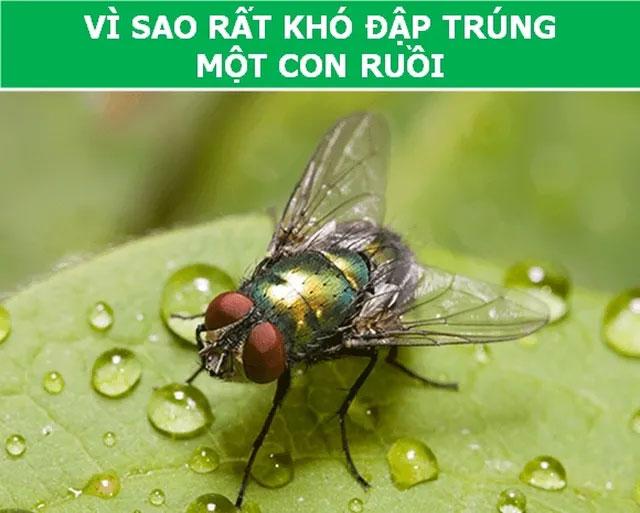 Con ruồi