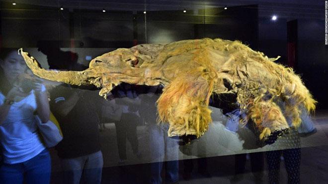 Mẫu vật voi ma mút con Yuka được trưng bày trong triển lãm ở Yokohama, ngoại ô Tokyo, ngày 12/7/2013.