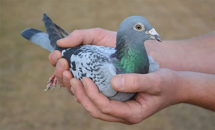 Chim bồ câu đắt nhất thế giới