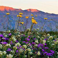 """Choáng ngợp trước hiện tượng hoa """"siêu bung nở"""" cực hiếm gặp ở sa mạc"""