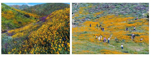Không chỉ Anza-Borrego mới bùng nổ siêu hoa, mà toàn bộ các khu vực hoang dã của nó đều nở hoa đồng loạt