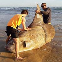 Cá mặt trời khổng lồ dạt lên bờ biển Australia