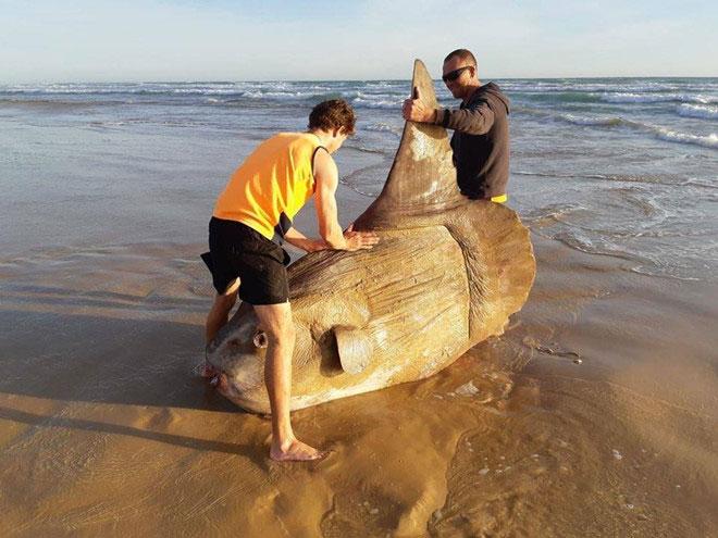 Kích thước khổng lồ của con cá mặt trời, tàu thuyền có thể gặp hư hại nếu đâm vào chúng.