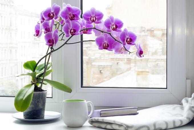 Cây phong lan