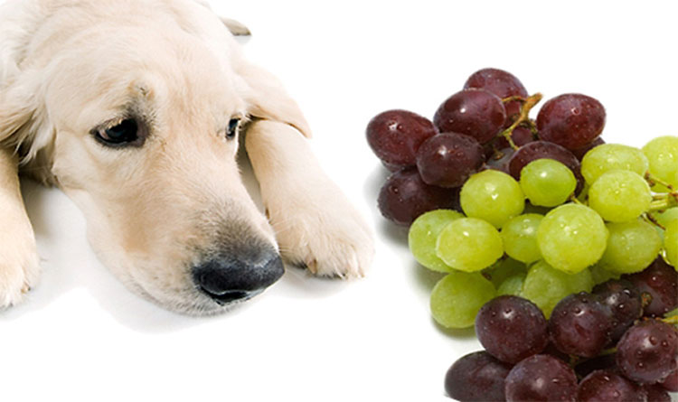Salicylate có thể là nguyên nhân gây ngộ độc ở chó khi ăn nho