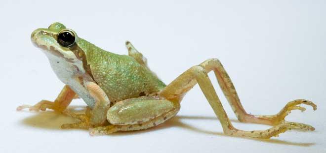 Đột biến thêm chi sau ở ếch do nhiễm ký sinh trùng sán lá.