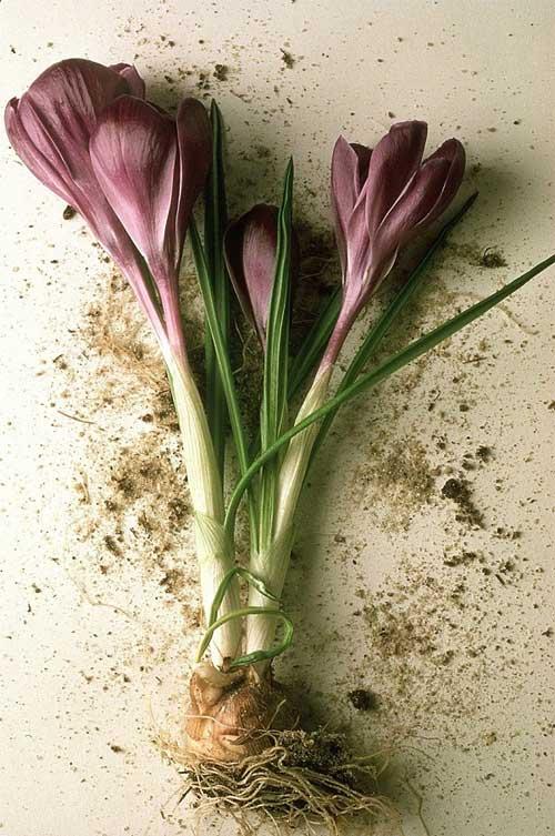 Trung Quốc và Maroc, với 100 tấn mỗi năm, là hai nguồn cung cấp Orris cho ngành nước hoa.