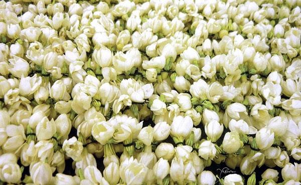 Trong ngành nước hoa, hoa nhài chính là vua của các loài hoa