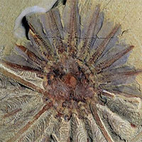 Phát hiện hóa thạch 520 tuổi của quái vật biển 18 xúc tu