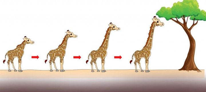 Trong số những con hươu cao cổ tổ tiên có một vài con có cổ dài hơn một chút so với đồng loại của chúng.