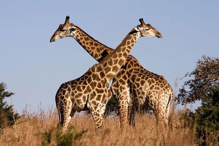 Ở thảo nguyên châu Phi, bằng cách đọ cổ, hươu cao cổ đực chiến đấu để giành con cái.