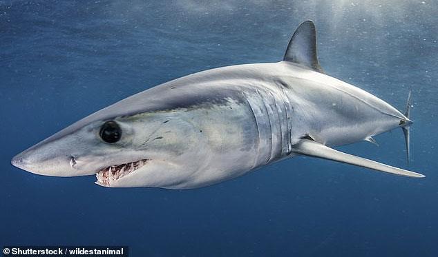 Có đến 17 trong số 58 loài cá mập từng nêu trong sách Đỏ được đưa vào ngưỡng nguy cấp.