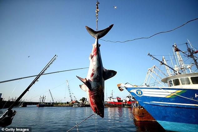 Đánh bắt cá mập quá mức đã đẩy chúng đến bờ vực tuyệt chủng.