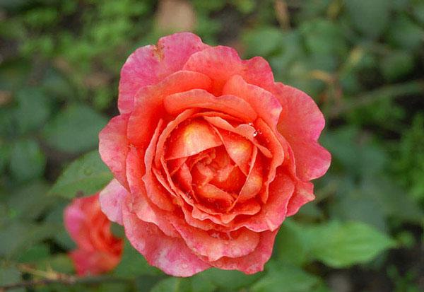 Hoa hồng Albrecht Durer