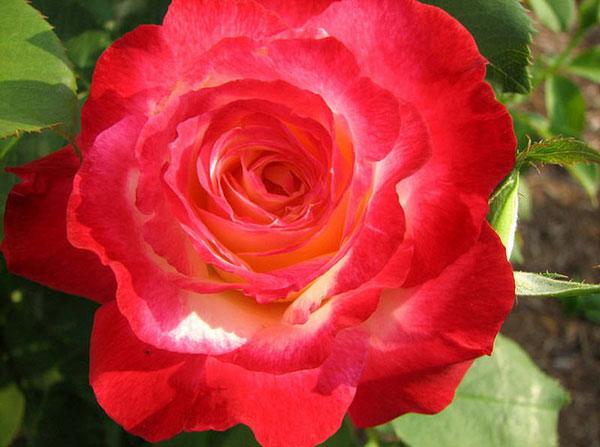 Hoa hồng Double Delight