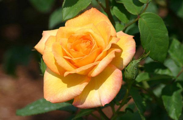 Hoa hồng Gold Metal