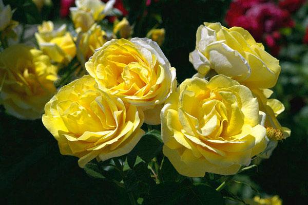 Hoa hồng Michelangelo